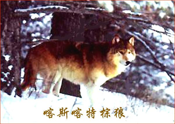 喀斯喀特棕狼