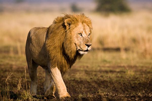 【西非狮与北非狮(图)】百科知识点