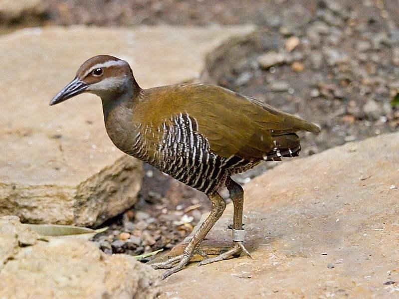 关岛秧鸡(图)