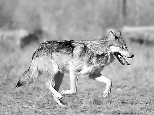 【新墨西哥狼(图)】百科知识点