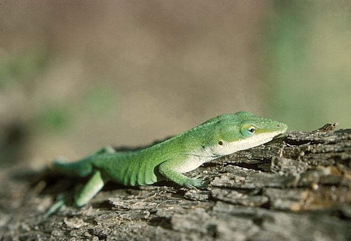 库莱布拉岛安乐蜥
