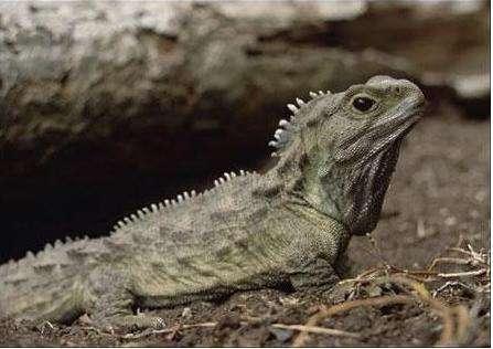 耶罗岛大蜥蜴