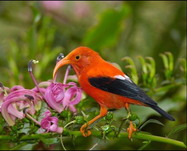 【太平洋管舌鸟(图)】百科知识点