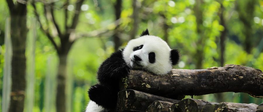 在大熊猫的故乡教案设计